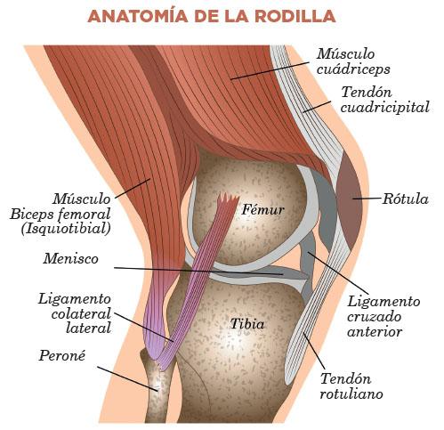anatomia-de-la-rodilla